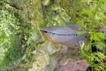 Pearl Gourami (Trichogaster leeri)